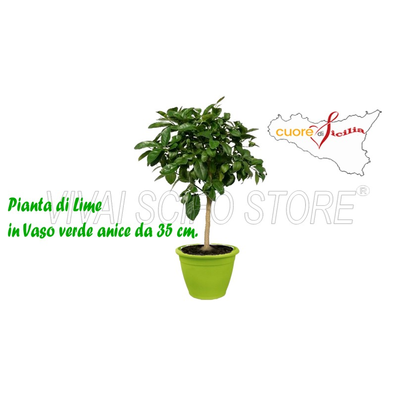 Acquista online pianta di limone lime in vaso verde anice for Pianta di limoni in vaso