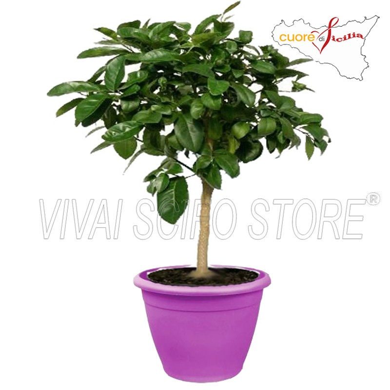 Acquista online pianta di limone lime in vaso viola da 35 for Pianta di limoni in vaso