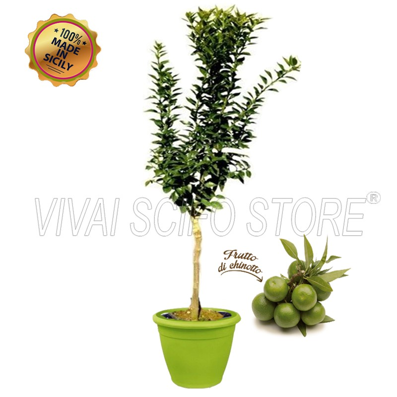 Acquista online pianta di chinotto in vaso verde anice da for Pianta da pavimento verde