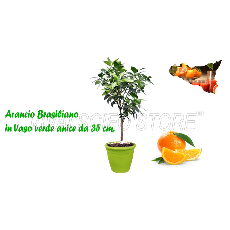 Acquista online pianta di arancio brasiliano in vaso verde for Pianta da pavimento verde