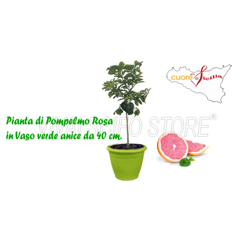 acquista online pianta di pompelmo rosa in vaso verde anice da 40 cm piante di pompelmo in vaso. Black Bedroom Furniture Sets. Home Design Ideas
