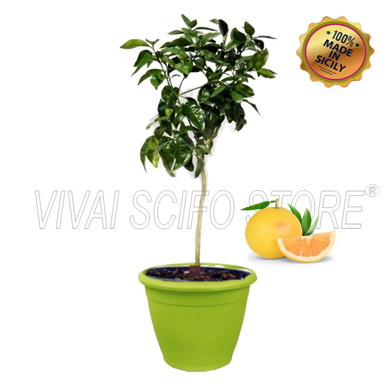 Acquista online pianta di pompelmo giallo in vaso verde for Pianta da pavimento verde