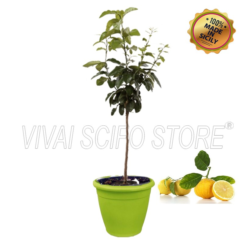 Acquista online pianta di bergamotto in vaso verde anice for Pianta da pavimento verde