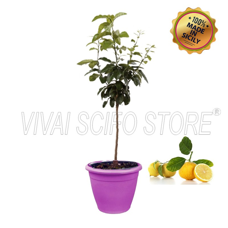Acquista online pianta di bergamotto in vaso viola da 35 for Pianta di limoni in vaso