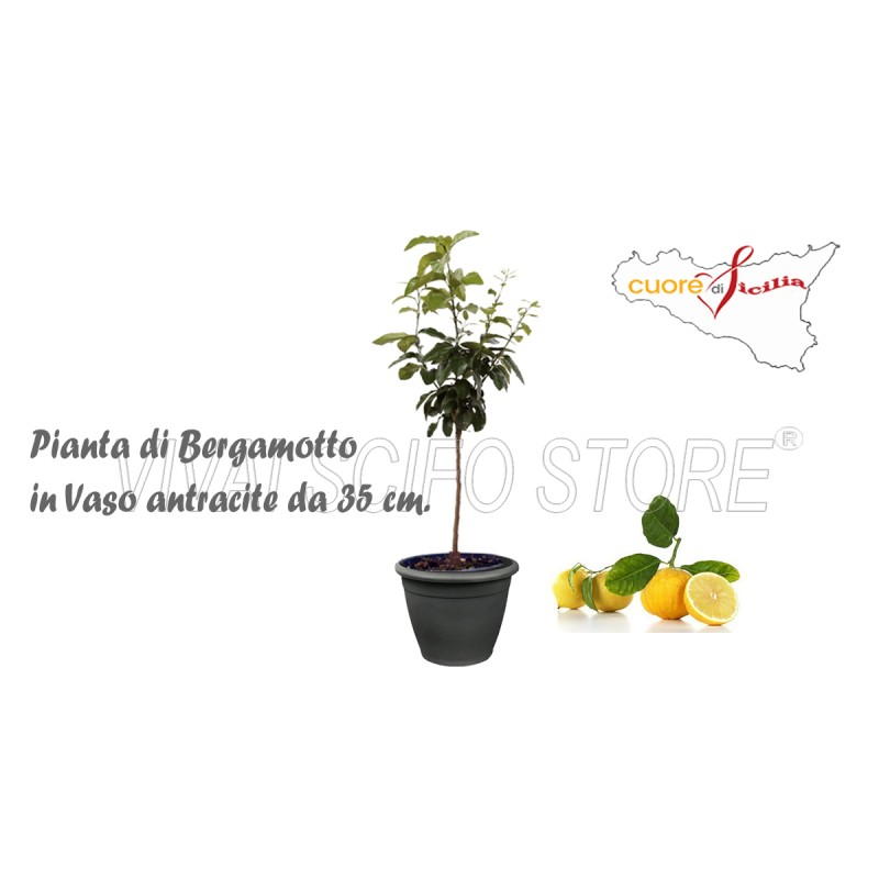 Acquista online pianta di bergamotto in vaso antracite da for Pianta di limoni in vaso