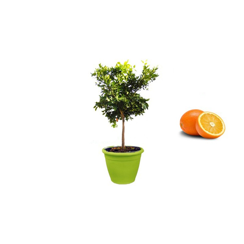 Acquista online pianta di arancio washington in vaso verde for Pianta da pavimento verde