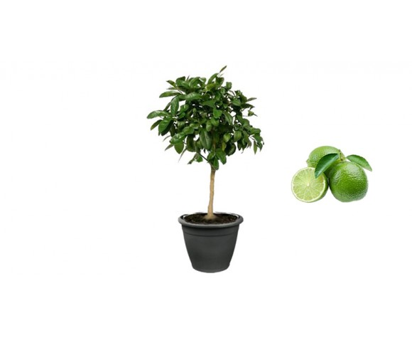 Pianta di Limone Lime in Vaso antracite da 35 cm