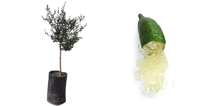 acquista-online-limone-caviale-verde-in-fitocella.png